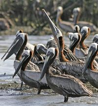 Oil-soaked Pelicans - Large